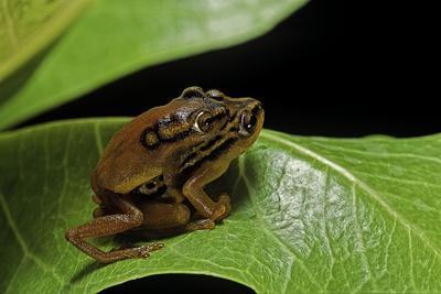 Hyperolius Puncticulatus - Mating-Paul Starosta-Photographic Print