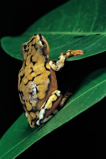 Hyperolius Puncticulatus (Spotted Reed Frog)-Paul Starosta-Photographic Print