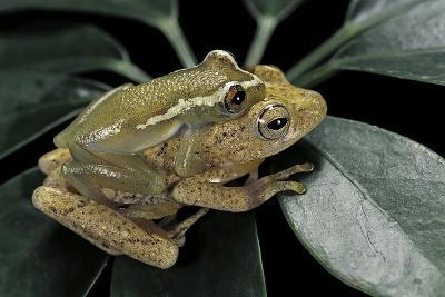 Hyperolius Semidiscus (Yellow-Striped Reed Frog ) - Mating-Paul Starosta-Photographic Print