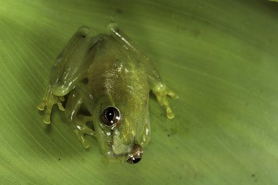 Hyperolius Sp. (African Reed Frog)-Paul Starosta-Photographic Print