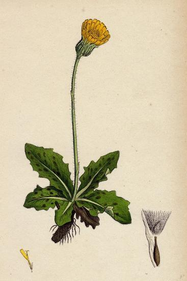 Hypochoeris Maculata Spotted Cat's-Ear--Giclee Print