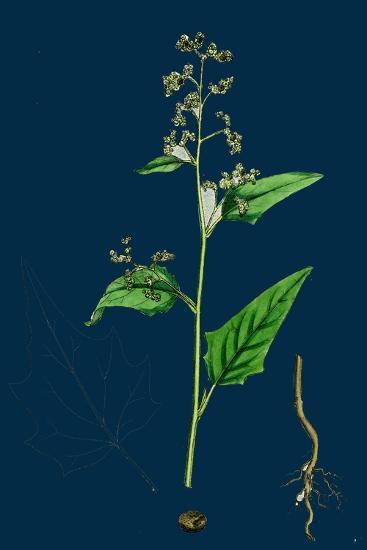 Hypochoeris Radicata; Long-Rooted Cat's-Ear--Giclee Print