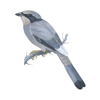 Hypocoly (Hypocolius Ampelinus), Birds-Encyclopaedia Britannica-Art Print