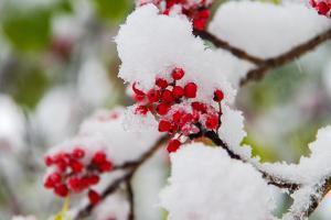 Snow Caped Holly by I.Hirama