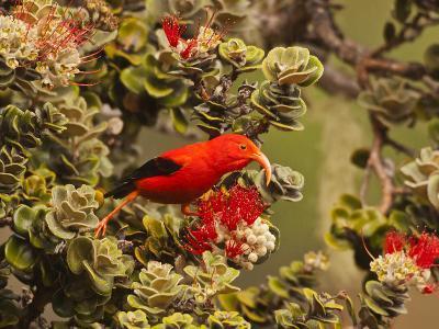 I'Iwi Bird, Haleakala National Park, Maui, Hawaii, USA-Cathy & Gordon Illg-Photographic Print