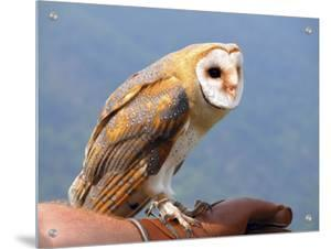 Barn Owl Perched on Persons Arm by I.W.