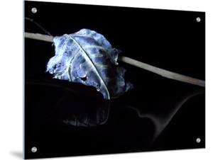 Dried Blue Leaf by I.W.