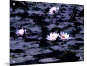 Lily-Pad Pond, Flower by I.W.