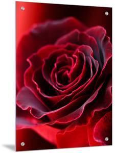 Red Velvet Rose by I.W.