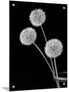 Three Dandelion in Glass by I.W.