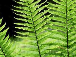 Ferns, Male, Scotland by Iain Sarjeant