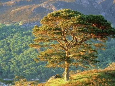 Scots Pine Tree, Ross-Shire, Scotland