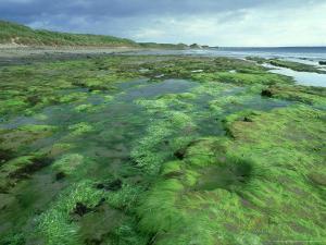 Seaweed on Shore, Caithness, Scotland by Iain Sarjeant