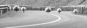 Roadblock Sheep by Ian Gethings