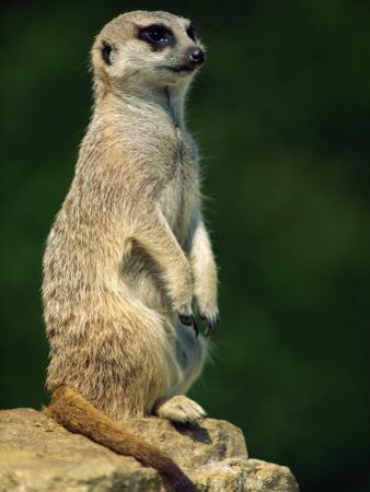 Meerkat on Look-Out, Marwell Zoo, Hampshire, England, United Kingdom, Europe