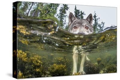 British Columbia, Canada. A coastal wolf investigate a photographer's camera.