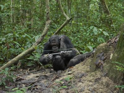 A Chimp at a Termite Mound Fishing with a Probe and Puncturing Stick