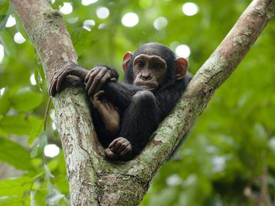 A Young Chimp Resting High in the Forest Canopy