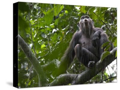 As Rain Falls, a Chimp Adds to the Calls Ringing Through the Forest