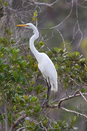 Great White Egret, Casmerodius Albus