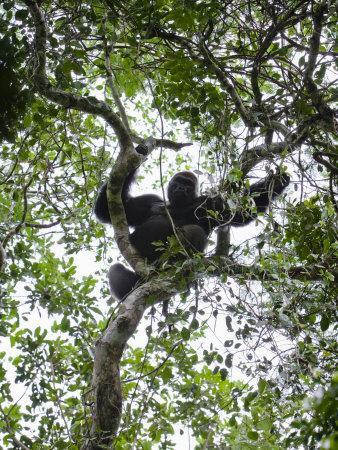 Silverback Western Lowland Gorilla Resting in a Tree