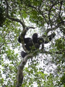 Silverback Western Lowland Gorilla Resting in a Tree by Ian Nichols