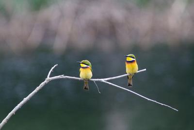 Two Little Bee Eaters, Merops Pusillus