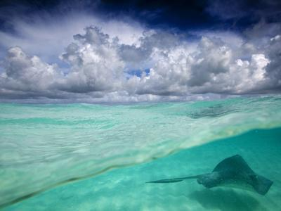 A Stingray Swimming Through the Caribbean Sea at the Cayman Islands.