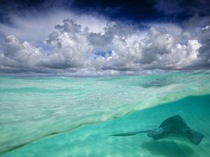 A Stingray Swimming Through the Caribbean Sea at the Cayman Islands. by Ian Shive