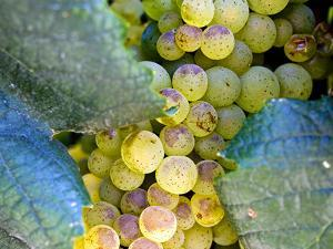 Grapes on California's Central Coast by Ian Shive