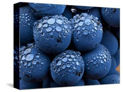 Healdsberg, Sonoma County, California: Detail of Grapes.