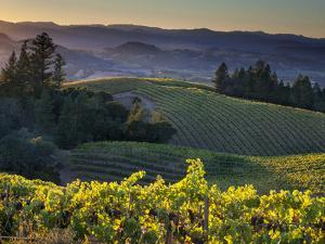 Healdsburg, Sonoma County, California: Vineyard and Winery at Sunset by Ian Shive