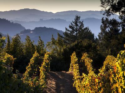 Sonoma Vineyard No.2