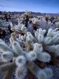 Teddy Bear Cactus or Jumping Cholla in Joshua Tree National Park, California by Ian Shive
