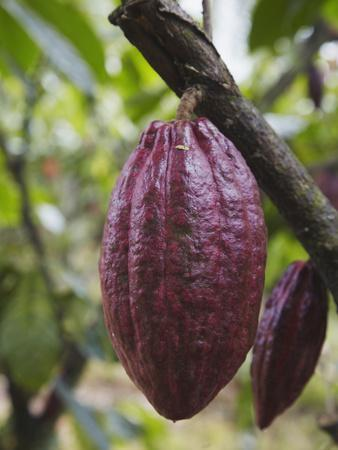 Cocoa (Cacao) Fruit on Tree, Kalitakir Plantation, Kalibaru, Java, Indonesia
