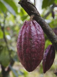 Cocoa (Cacao) Fruit on Tree, Kalitakir Plantation, Kalibaru, Java, Indonesia by Ian Trower