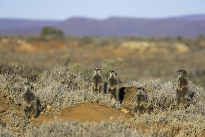 Meerkats, Oudtshoorn, Western Cape, South Africa, Africa by Ian Trower