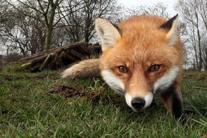 Red Fox Vulpes Vulpes close Up by Ian Wade Photography