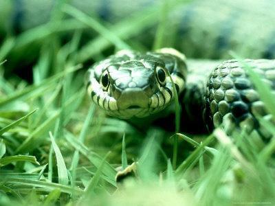 Grass Snake, Hampshire, UK