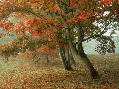Japanese Maple, November, UK
