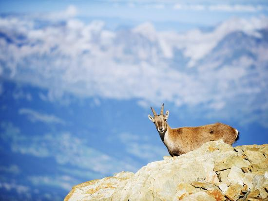 Ibex (Capra Ibex), on Lower Slopes of Mont Blanc, Chamonix, French Alps, France, Europe-Christian Kober-Photographic Print