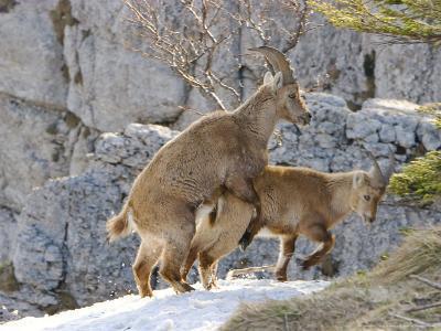 Ibex, Young Ibex Mating, Switzerland-David Courtenay-Photographic Print