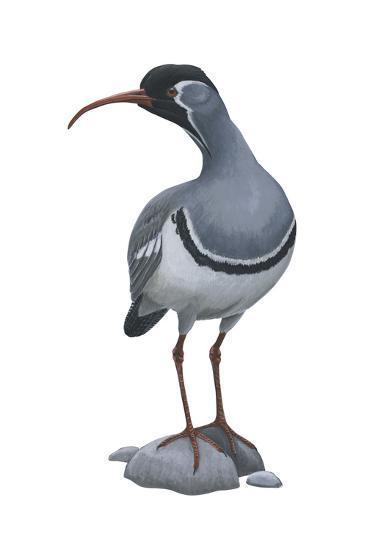 Ibisbill (Ibidorhyncha Struthersii), Birds-Encyclopaedia Britannica-Art Print