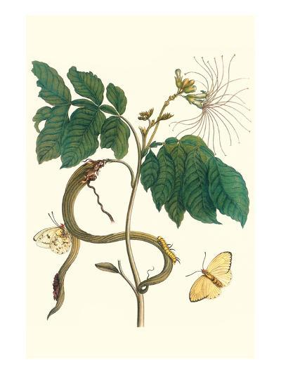 Ice Cream Bean with Apricot Sulphur Butterfly-Maria Sibylla Merian-Premium Giclee Print