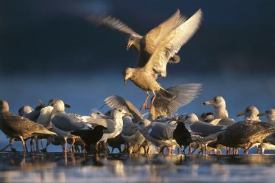 https://imgc.artprintimages.com/img/print/ice-seagulls-larus-hyperboreus-riversides-dusk-usa_u-l-q11vdza0.jpg?p=0