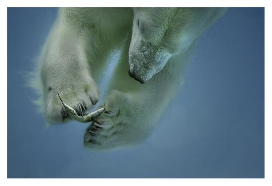 Icebaer-Peter Wagner-Giclee Print