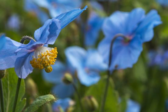 Iceland, Akureyri. Blue Poppies in the Botanical Garden Lystigaardur-Cindy Miller Hopkins-Photographic Print