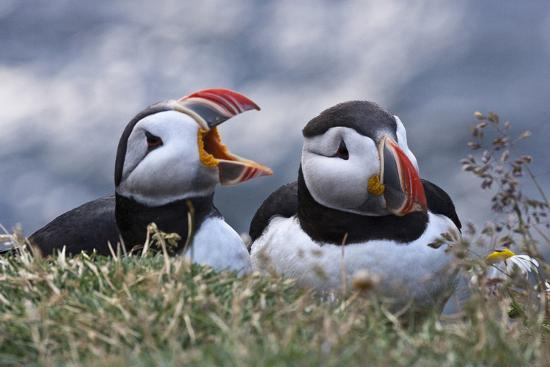 Iceland, Breidavik, Puffins-Hollice Looney-Premium Photographic Print