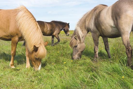 Iceland Horses-Catharina Lux-Photographic Print