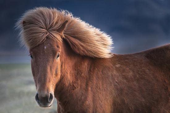 Iceland. Icelandic horse in sunset light.-Jaynes Gallery-Premium Photographic Print